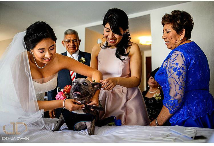 Weddings are big deals. Everyone needs to look their best. Even the family pet. ?? #frenchbulldog #weddingdog #huffpostweddings @pureambiance
